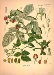 medicinal-plants-46