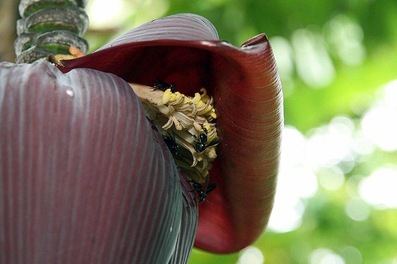 Musa Acuminata at lse Kientzler Botanical Garden, Sarchi Norte, Costa Rica -, Creative Commons Attribution-Share Alike 4.0 International