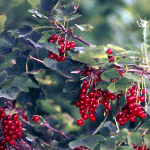 rode aalbes